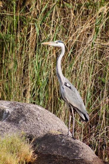 Nile bird life 2