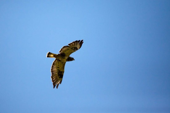 Fjellvåk - Rough-legged Buzzard 2