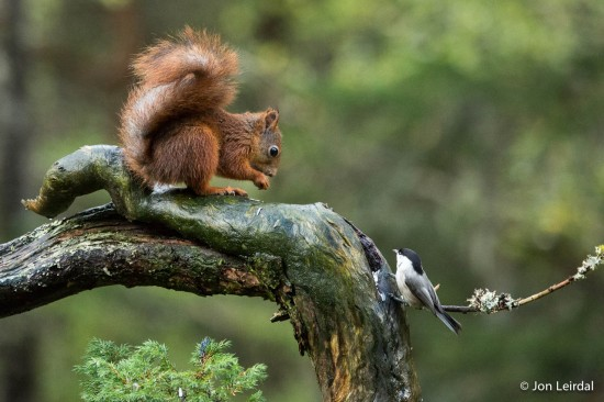 Red squirrel and willow tit