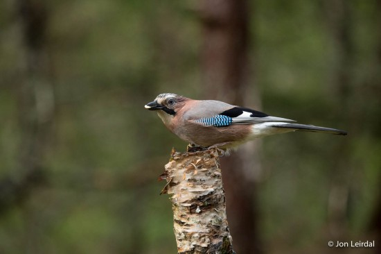 The eurasian jay is an attractive bird