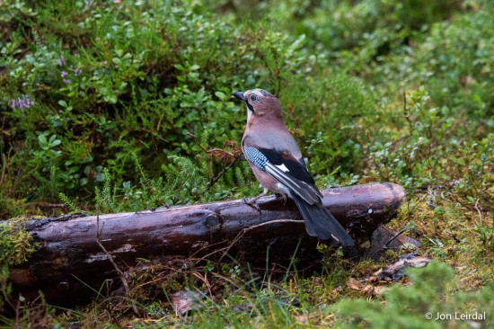 The eurasian jay again.