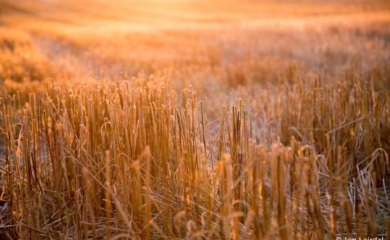 Harvest glow