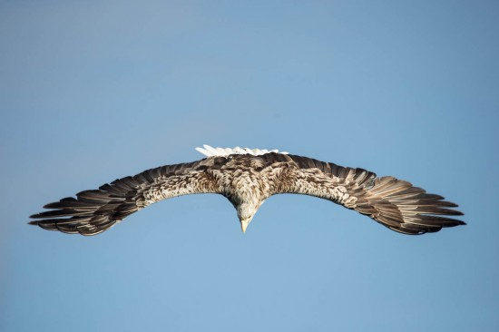 A white-tailed eagle diving