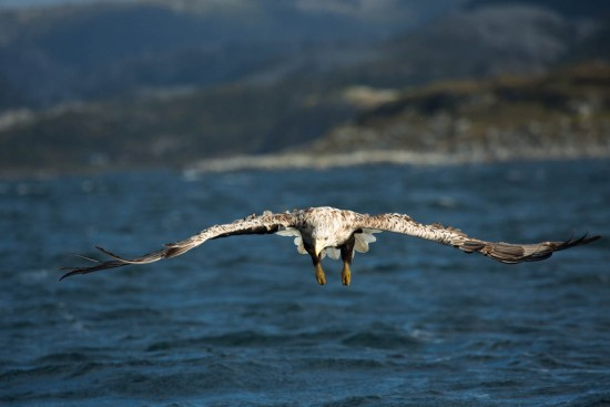 A white-tailed eagle focusing on its