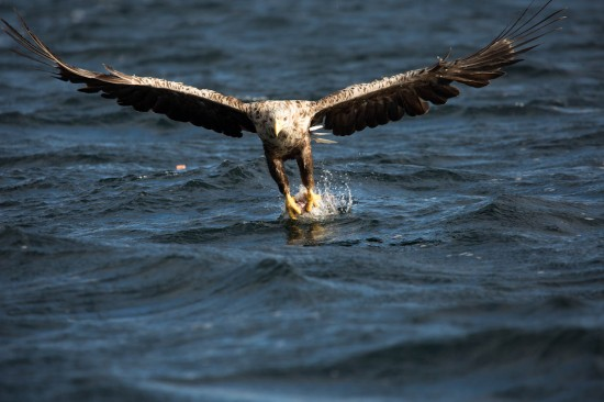A white tailed eagle grabbing fish