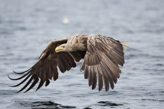 A low flying white-tailed eagle