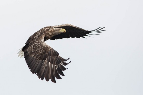 A white-tailed eagle on white clouds