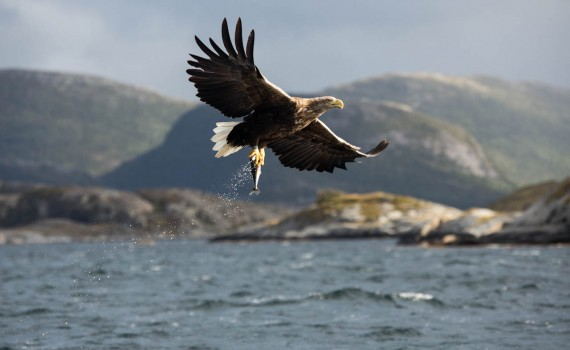 A white-tailed eagle showing off the loot