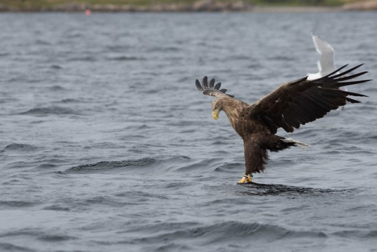 A white-tailed eagle testing the water
