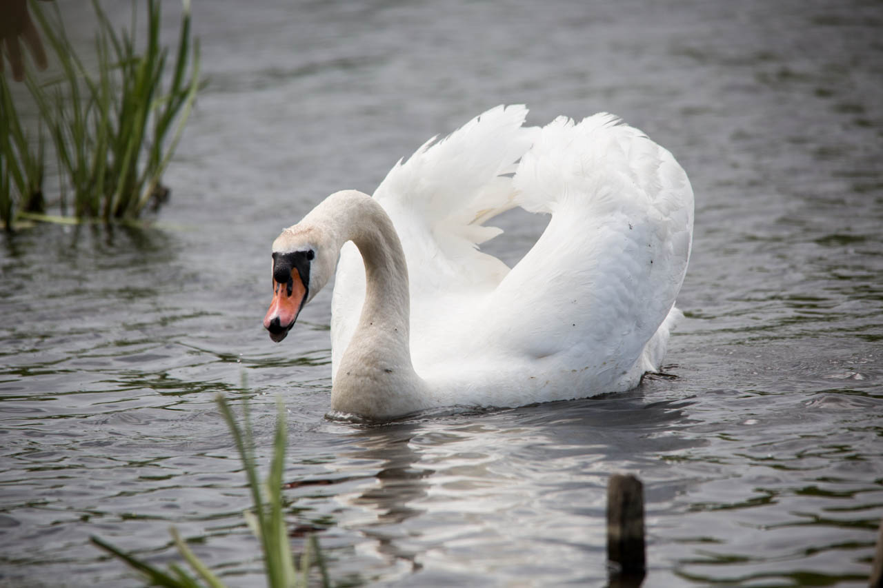 Swan Showing Off