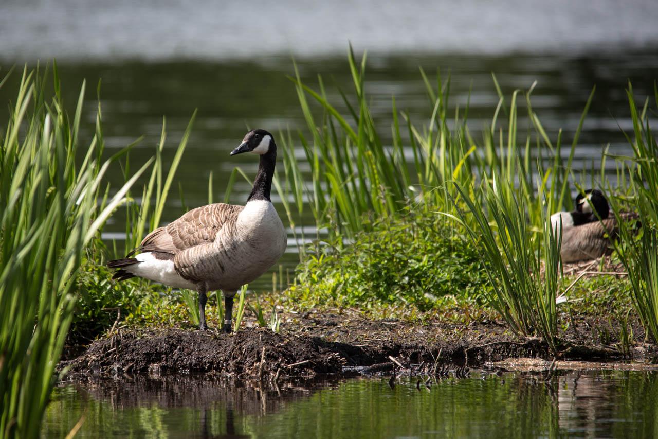 Canada Goose guarding his mate