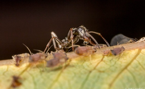 Ants minding their flock of aphids 5