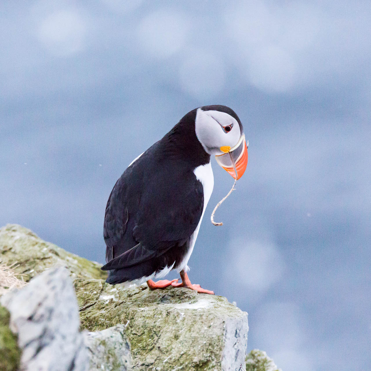 Puffin planning a nest
