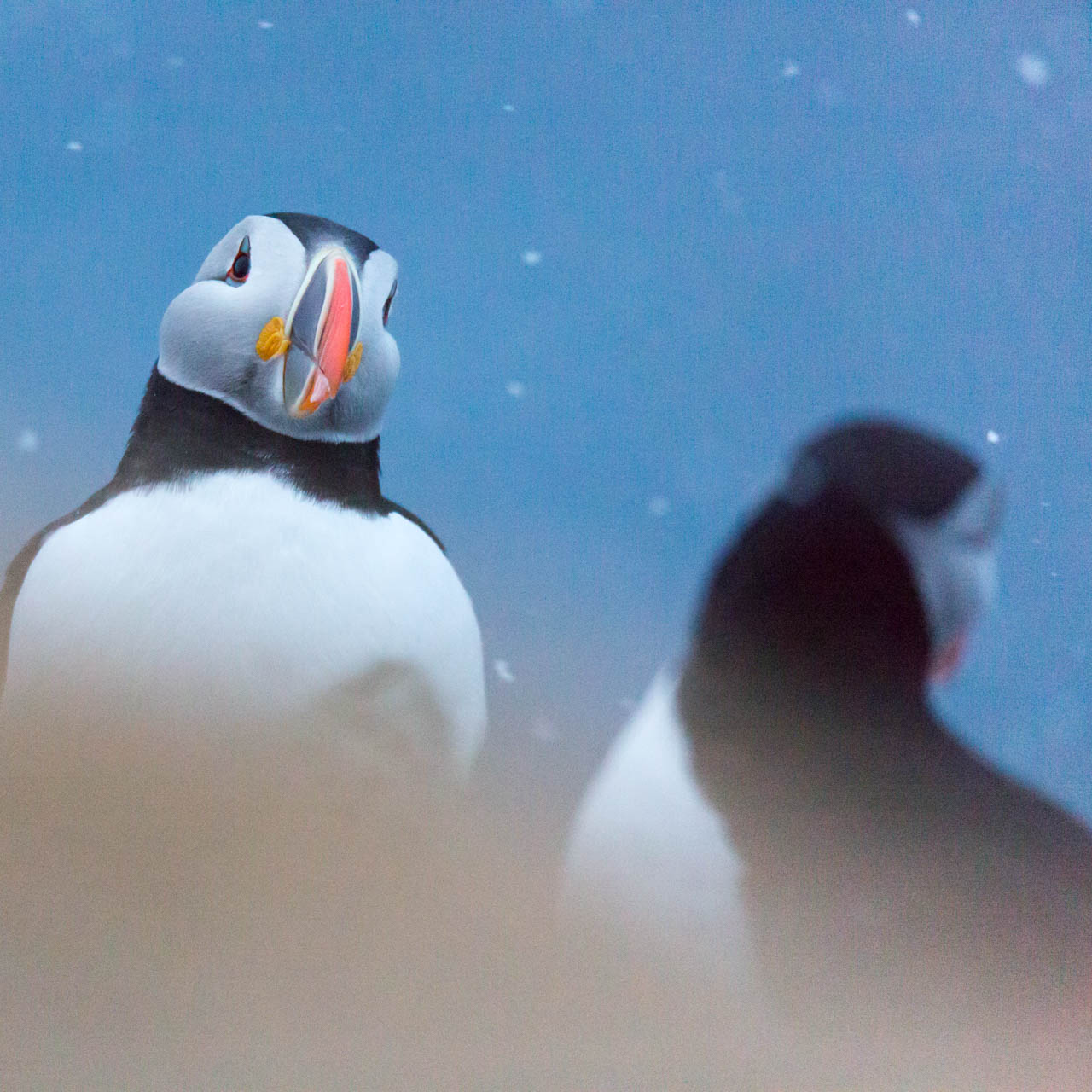 Puffin watching me