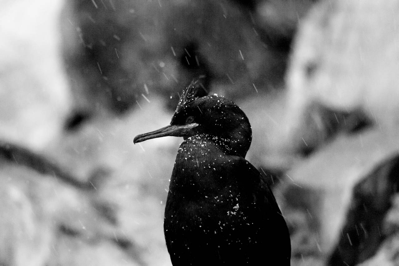 European shag in the snow